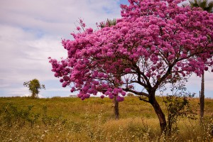 lapacho albero